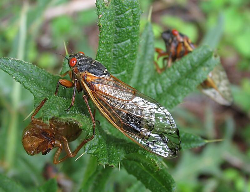 Cicadas (recropped and processed)
