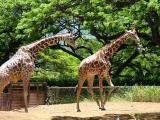 Play Time for Giraffes