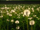 Dandelions in Sunset
