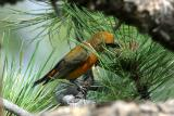 Red Crossbill Extracting Pine Seed