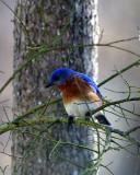 Bluebird V