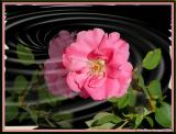 Rose ripple\  small rose