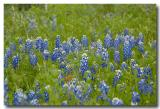 The State Flower of Texas - Bluebonnets