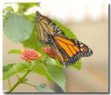 Monarchs at the new Butterfly Haus at Wild Seed Farms