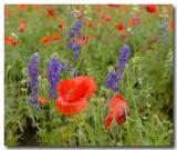 Poppies and Bluebonnets