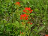 Castilleja coccinea (Indian Paintbrush), MP 437.0