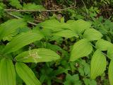 Smilacina racemosa (False Solomon Seal) on left, Polygonatum pubescens (Solomon Seal) on right, MP~400
