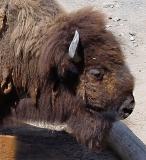 bison1304.JPG