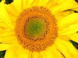 Sunflower - II