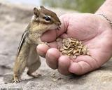 Chipmunk with Hand