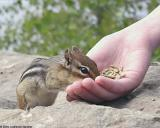 Chipmunk with Hand #2