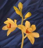 Steven Feil - Phaius Orchid