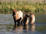 Elk in Madison River