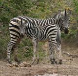 Zebra (Mashatu)