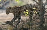 Leopard (Mashatu)