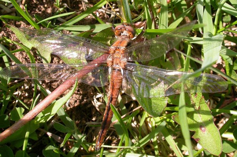 Recently emerged  (teneral) Chalk-fronted Corporal resting on ground