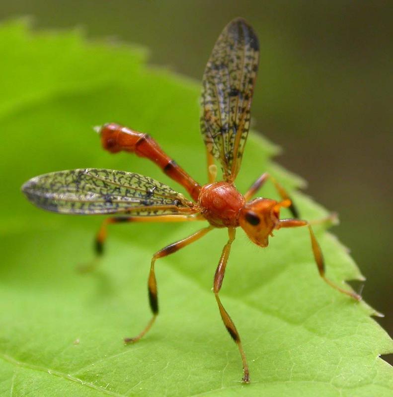 Pyrgotidae fly - view 2