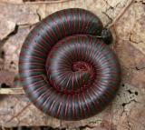 Narceus spp.  -- coiled