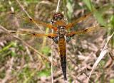 Four-spotted Skimmer -- male
