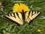 Tiger Swallowtail  -- Paden Road -- Rideau Township