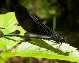 Ebony Jewelwing damselfly -- male
