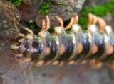 Sigmoria -- tail -- upper side