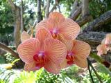 Orchid - Vizcaya, Miami