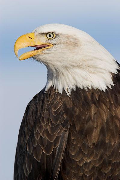 Homer Bald Eagle 20w.jpg