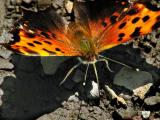 WV ~ Butterflies - Brushfoot Family