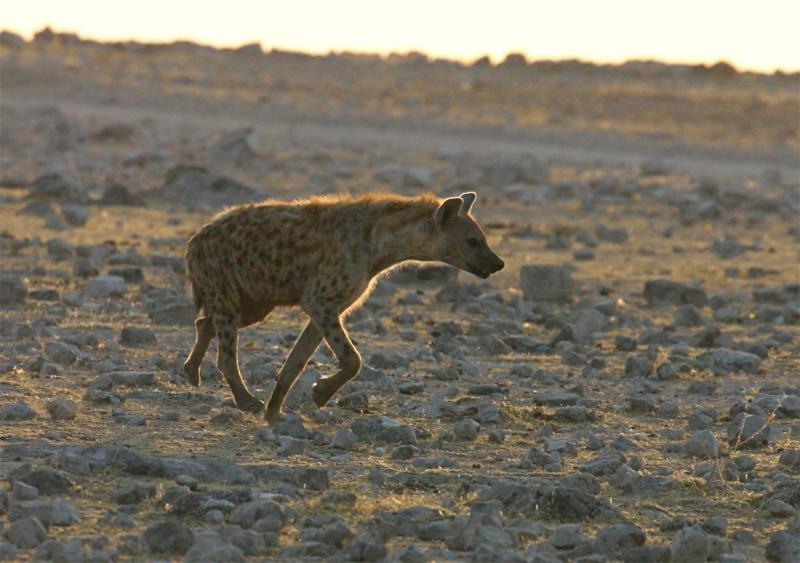Spotted-Hyena - early morning.jpg
