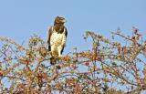 Martial-Eagle.jpg