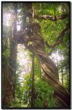 Escalera de mono en Gandoca-Manzanillo