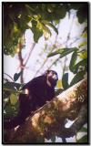 Mono en Tortuguero