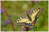 Le Machaon   Papilio machaon