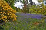 Field of Bluebells, Armadale Castle Gardens