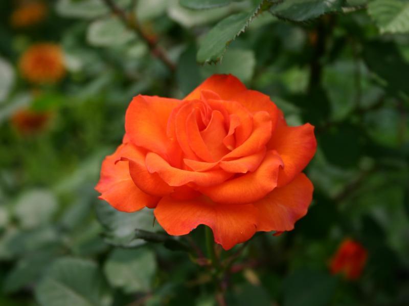 Cocoa Orange Rose