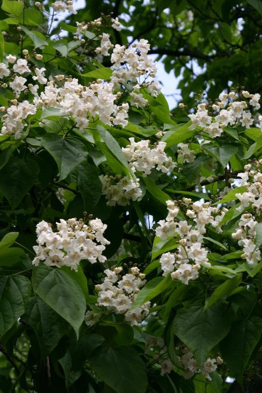 Catalpa Blossoms