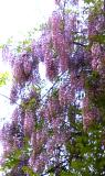 Wisteria before 2008