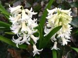 White Hyacinths in an Ivy Bed