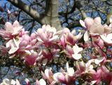 Magnolias 2003 - 2005
