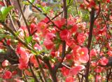 Salmon Quince Flowers