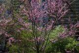 Red Bud Trees