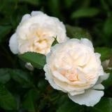 Guinivere Roses