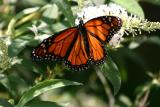 Monarch on  Butterfly  Bush Blossoms WSP