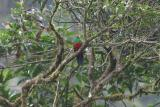 Golden-headed Quetzal, male