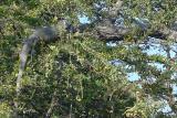 DSC01697 - Iguana in the trees