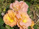 Fleurs_Tony12.jpg