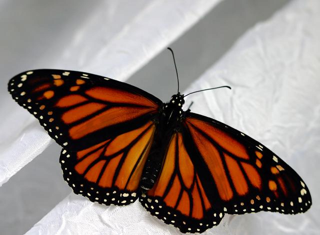 monarch IMG_5073e.jpg