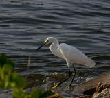 snowy egret. number two