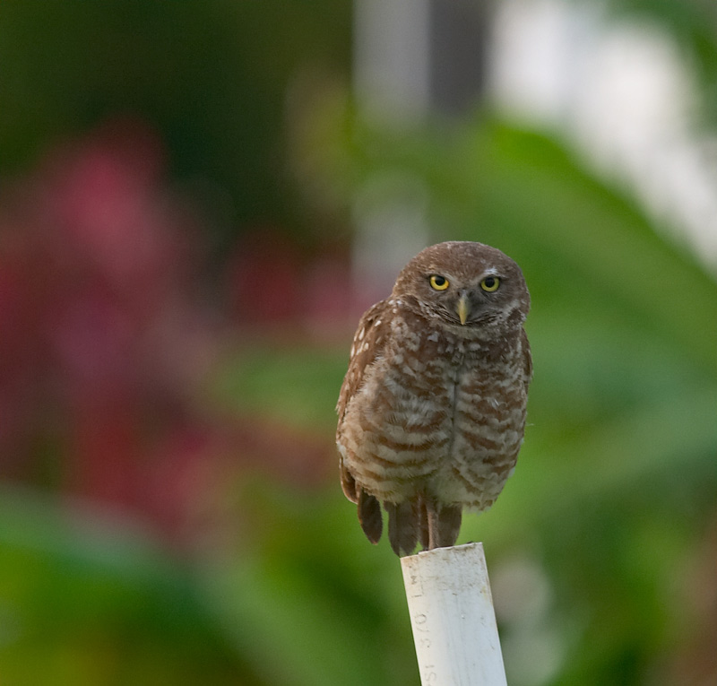 burrowing owl.parent perched on pole